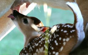 baby deer nursing